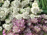 Assorted Astrantia