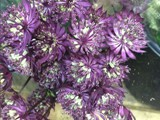 Purple Astrantia